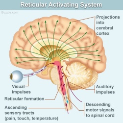 reticular-activating-system.jpg