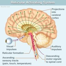 reticular-activating-system.jpg